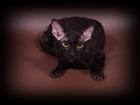 Изображение в Кошки и котята Вязка Предлагаем для вязки-Корниш рекс клубного в Москве 2000