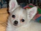 Фотография в Собаки и щенки Продажа собак, щенков Кремовый мальчик, веселый и смелый, породный, в Москве 25000