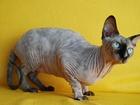 Фотография в Кошки и котята Продажа кошек и котят Продается Канадский сфинкс, девочка. Возраст в Москве 20000