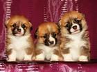 Фото в Собаки и щенки Продажа собак, щенков Питомник вельш корги пемброк «Свежий Ветер» в Москве 68000
