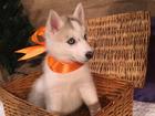 Изображение в Собаки и щенки Продажа собак, щенков Красивые щенки Сибирской Хаски, рождённые в Москве 15000