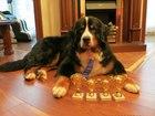 Изображение в Собаки и щенки Вязка собак Кабель для вязки, привезенный из Бельгии. в Москве 0