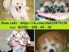Изображение в Собаки и щенки Продажа собак, щенков АКИТА-ИНУ чистокровных щеночков от шикарных в Москве 45000