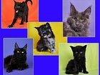 Изображение в Кошки и котята Продажа кошек и котят Хотите завести себе эксклюзивное домашнее в Москве 35000