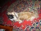 Скачать бесплатно изображение Вязка собак Пекинес-девочка ЛЕССИ ищет для вязки друга на 17-19 декабря 2016г 37804599 в Москве