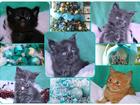 Изображение в Кошки и котята Продажа кошек и котят Питомник мейн кунов предлагает к продаже в Москве 35000