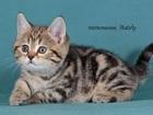 Фотография в Кошки и котята Продажа кошек и котят Питомник Stately предлагает к продаже котят в Москве 20000