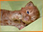 Фотография в Кошки и котята Продажа кошек и котят Монопородный питомник предлагает к резерву\продаже в Москве 35000