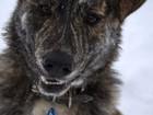 Фотография в Собаки и щенки Продажа собак, щенков Собака Алька, с экзотическим тигровым окрасом, в Москве 0