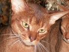 Фотография в Кошки и котята Вязка Молоденький , но имеющий опыт вязки и развязывания в Москве 3500