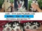 Фотография в Собаки и щенки Продажа собак, щенков Невероятных щенков Хаски, продам, от заводчика! в Москве 0