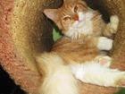 Фото в Кошки и котята Продажа кошек и котят Профессиональный питомник Bonnys Beauty в Москве 25000