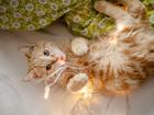 Изображение в Кошки и котята Продажа кошек и котят Продажа   Кот красный мраморный страйт гладкошерстный в Москве 15000