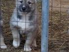 Изображение в Собаки и щенки Продажа собак, щенков Продаются щенки Западносибирской лайки. Дата в Москве 15000