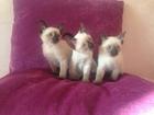 Изображение в   Открыты для бронирования сиамские котята в Москве 10000
