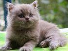 Фото в Кошки и котята Продажа кошек и котят Лиловый длинношерстный котик от клубных племенных в Москве 5000