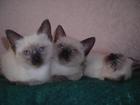 Фотография в Кошки и котята Продажа кошек и котят Открыты для бронирования сиамские котята в Москве 10000