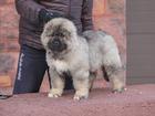 Фото в Собаки и щенки Продажа собак, щенков Предлагается к продаже мальчик, д. р 15. в Москве 45000