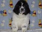 Фото в Собаки и щенки Продажа собак, щенков Племенной питомник Фром Рашн Беар предлагает в Москве 25000