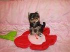 Изображение в Собаки и щенки Продажа собак, щенков Продается мини девочка йоркширского терьера в Москве 25000