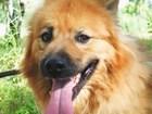 Фото в Собаки и щенки Продажа собак, щенков Кинг – просто огненный красавчик. Весь рыжий, в Москве 10