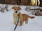 Новое фото  Ищут дом очаровательные солнечные щенки Плюша и Лакки, 38491231 в Москве