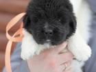 Фотография в Собаки и щенки Продажа собак, щенков Племенной питомник Терра Виктория предлагает в Москве 0