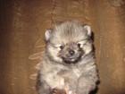 Фото в Собаки и щенки Продажа собак, щенков Щенки шпица мальчики и девочки, всех размеров в Москве 15000