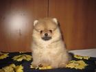 Изображение в Собаки и щенки Продажа собак, щенков Супер микро девочка шпиц и щенки шпица мальчики в Москве 15000