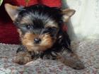 Фотография в Собаки и щенки Продажа собак, щенков Продаем щенков Йоркширского терьера   • Мальчики-мини, в Москве 20000