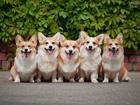 Фотография в Собаки и щенки Вязка собак Вельш корги пемброка представляем производителей! в Москве 0