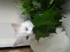 Фотография в Кошки и котята Вязка Молодой, умный, роскошны кот Амур турецкой в Москве 500