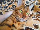 Фотография в Кошки и котята Продажа кошек и котят Молоденькая не стерилизованная бенгалочка в Москве 15