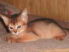 Изображение в Кошки и котята Продажа кошек и котят Абиссята маленькие гепардики, преданные, в Москве 0