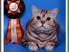 Скачать фотографию  Вязка: Британский чёрный серебристый мраморный кот-Чемпион 38629461 в Москве