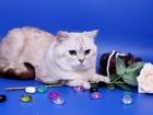 Фото в Кошки и котята Вязка Предлагаем для вязки- Шотландского пямоухого в Москве 2500