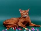 Уникальное изображение Вязка Вязка-Абиссинский породный кот 38629570 в Москве