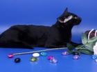 Свежее изображение Вязка Вязка-Ориентальный чёрный кот 38629573 в Москве
