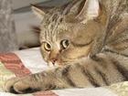 Скачать изображение Вязка Шотландский котик приглашает на вязку 38657368 в Москве