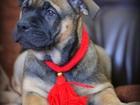 Изображение в Собаки и щенки Продажа собак, щенков Продаётся девочка ка де бо. 4 месяца. Породная, в Москве 50000