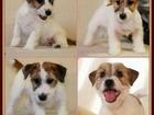 Фотография в Собаки и щенки Продажа собак, щенков Предлагаем высокопородных щенков джек рассел в Москве 25000