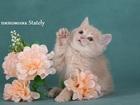 Фотография в   Питомник предлагает к продаже котят породы в Москве 20000