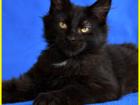 Изображение в Кошки и котята Продажа кошек и котят Питомник предлагает к продаже девочку мейн-кун в Москве 20000