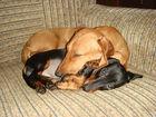 Увидеть foto Вязка собак Срочно связка с мальчиком таксы 38791047 в Москве