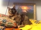 Фото в   Продам котика редкой породы Курильский Бобтейл. в Санкт-Петербурге 15000
