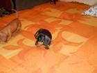 Фотография в Собаки и щенки Продажа собак, щенков Продаются клубные щенки таксы, клуба , , в Москве 0