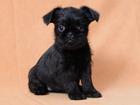 Фото в Собаки и щенки Продажа собак, щенков АГАТА ФЕЛИЧИТА -черное счастье  Малышка Агата в Москве 30000