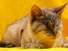 Изображение в   Несси - это прекрасная и волшебная кошка, в Москве 0