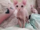Изображение в Кошки и котята Продажа кошек и котят Продам котят канадского сфинкса. Родились в Москве 15000