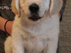 Фотография в Собаки и щенки Продажа собак, щенков Питомник LENARI GOLD предлагает щенков золотистого в Москве 0